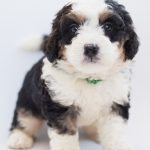 bernedoodle, dog, puppy-3710338