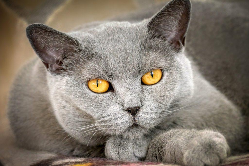 cat, mieze, domestic cat