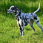 dalmation dog, dog, animal-3382090