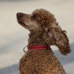 dog, poodle, adopt
