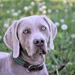 dog, weimaraner, cap