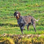 german wire haired pointer, pointer, hunting dog-3226809