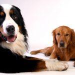 golden retriever, bernese mountain dog, dog-642012