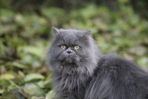 kitten, cat, persian kitten
