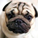 pug, cute, dog-2112174
