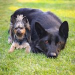 yorkshire terrier, black german shepherd, friends