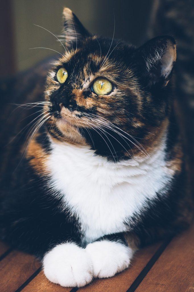 cat, domestic cat, lucky cat