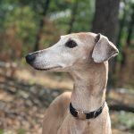 dog, greyhound
