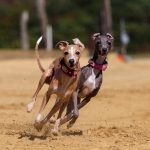 dog, greyhound, pet