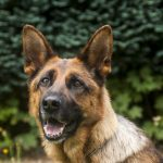 guard dog, a police dog, legerhond