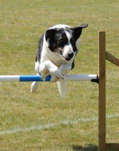dog, agility, fitness