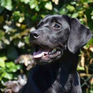 black, lab, happy