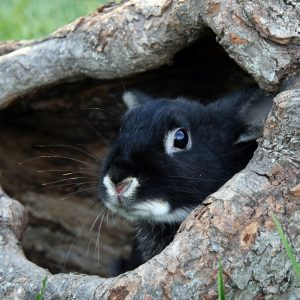 bunny, rabbit, black otter bunny-2645086