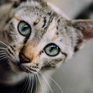 cat face, cat, cat eyes