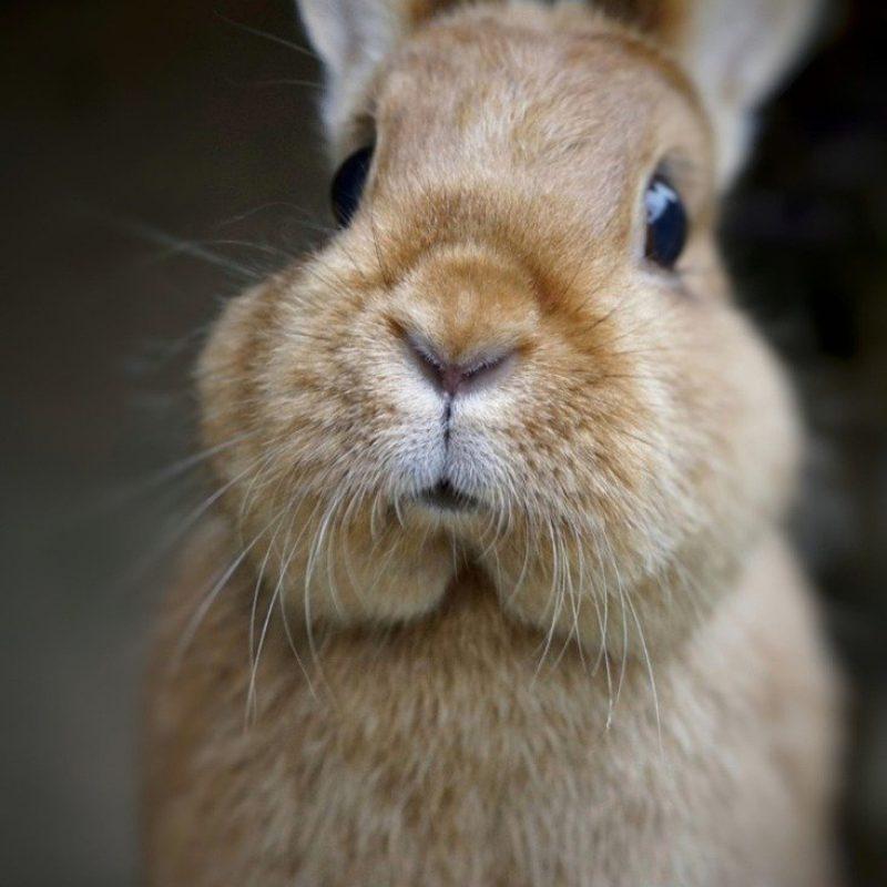 hare, dwarf rabbit, sweet