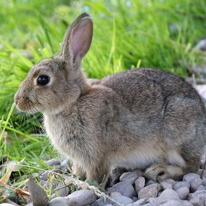 hare, rabbit, animal