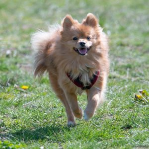 pomeranian, dog, small-5078157